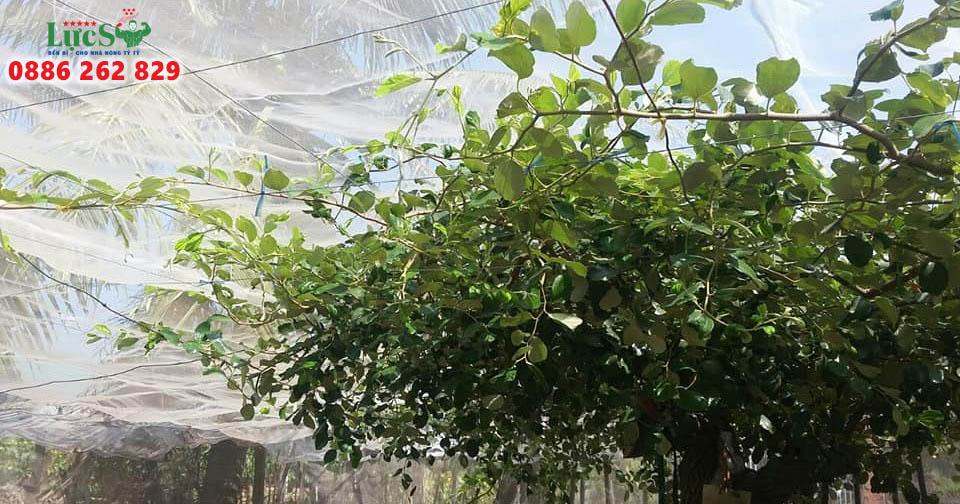 Lưới Mùng Trùm Vườn Táo – 1 Hình Thức, Nhiều Tác Dụng